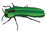 Emerald Ash Borer killing trees in Cleveland